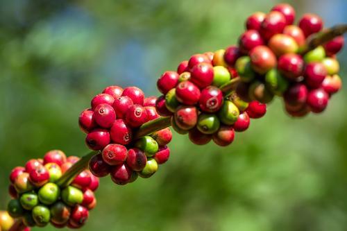 Созревание кофейных плодов на дереве