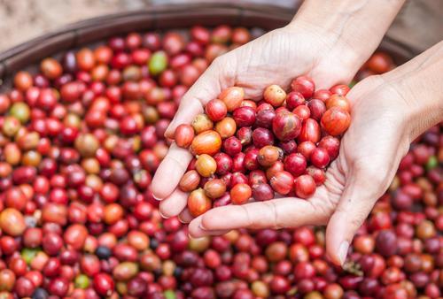 красные плоды кофейного дерева