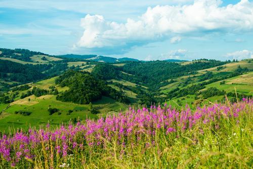 Пейзаж в Карпатах с цветущим иван-чаем