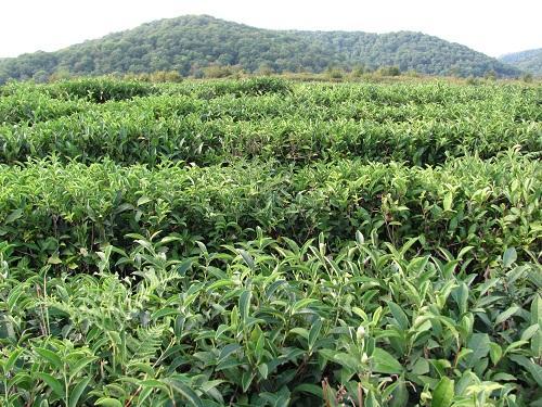 Выращивание чая в Краснодарском крае