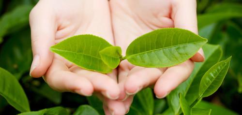 Чайные листочки