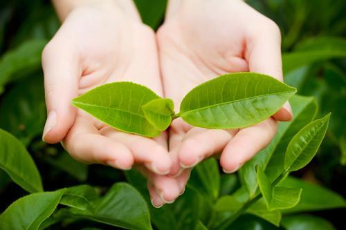 Чайные листочки на кусте