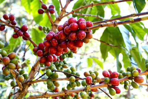 Красные и зеленые кофейные бобы на дереве