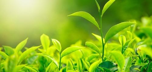 Куст зеленого чая