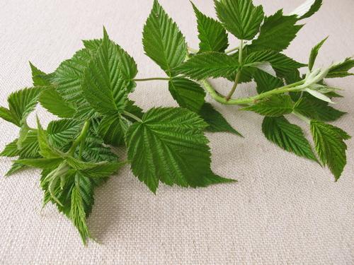 Листья малины для чая