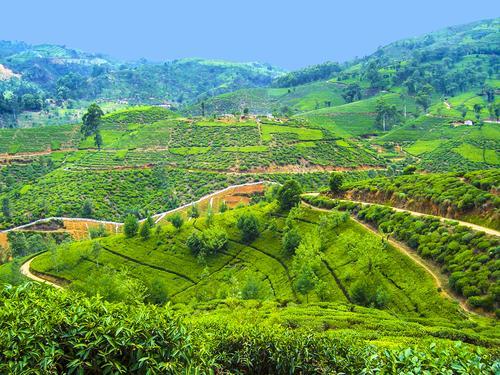 Выращивание чая на острове Шри-Ланка