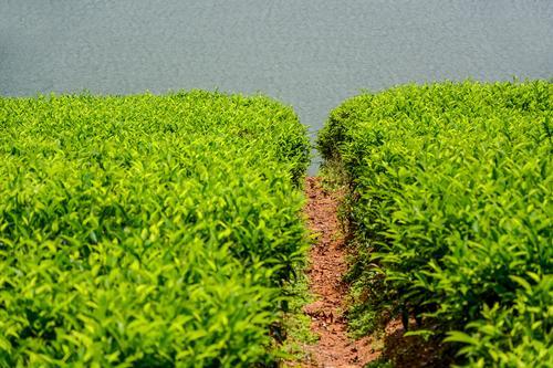 Чайный куст на плантациях Шри-Ланки