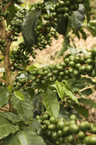 Кофейные деревья в Кимбайя, Колумбия