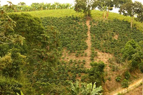Выращивание кофейных деревьев в Колумбии
