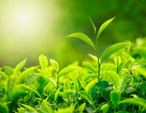 Зеленые чайные листочки