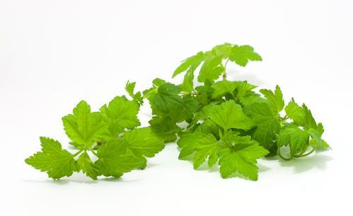 Свежие листья смородины