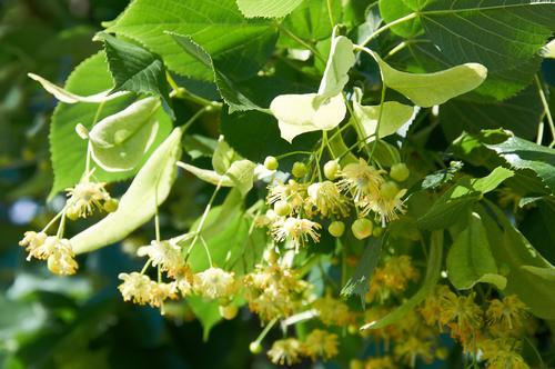 Красивые цветки липы на дереве