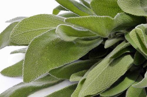 Свежие листья шалфея для чая
