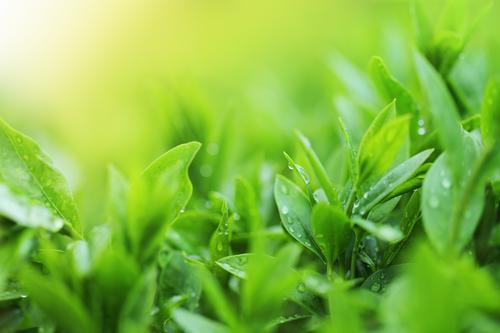Чайные кусты на плантациях