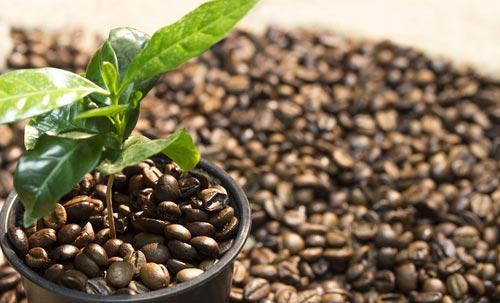 Росток кофейного дерева с первыми листочками
