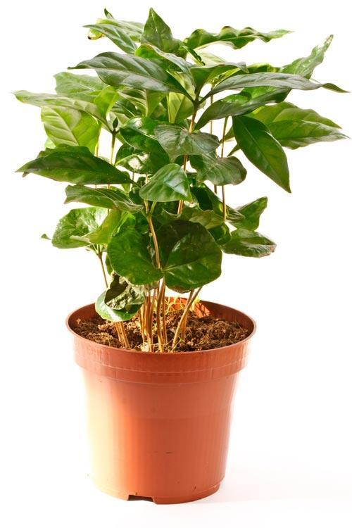 Маленькое кофейное дерево в горшке