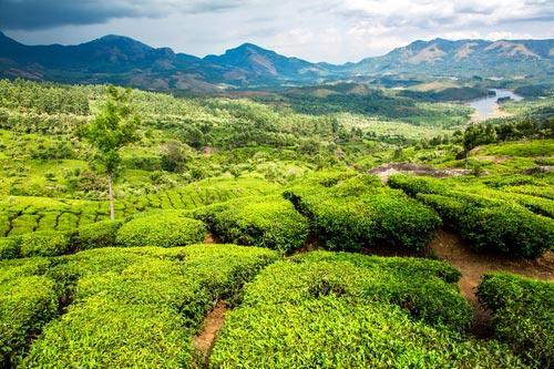 Чайные индийские плантации