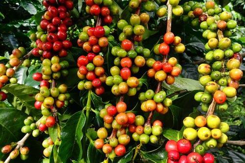 Созревание плодов кофе на дереве