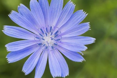 Синий цветок цикория