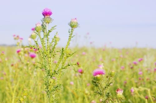 Цветки расторопши в поле