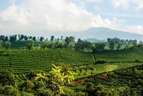 Кофейные плантации Коста-Рики