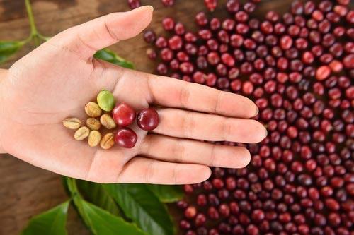 Спелые кофейные бобы на ладони