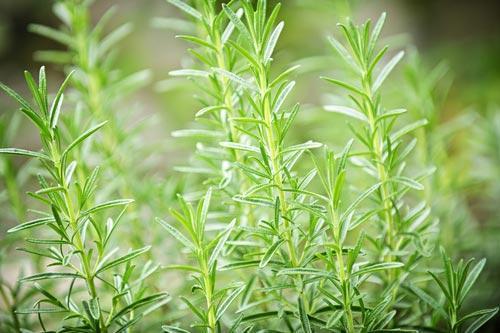 Растение розмарин лекарственный в природе