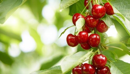 Спелые ягоды вишни