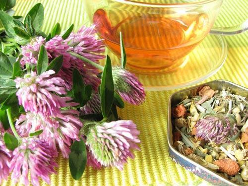 Соцветия красного клевера в свежем и сушеном виде