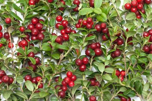 Собранные спелые ягоды брусники с листьями