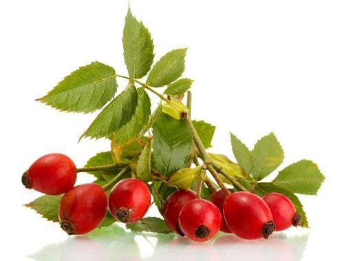 Веточка со свежими плодами шиповника