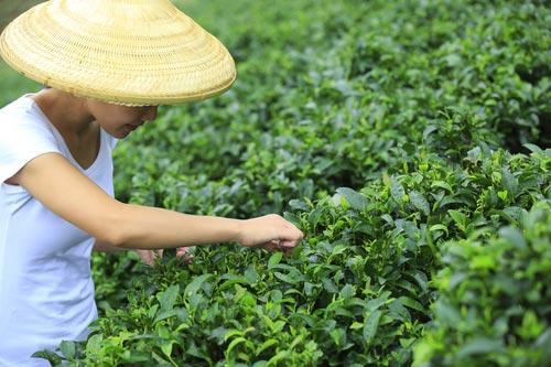 Сбор верхних листочков для чая