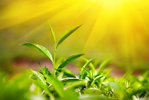 Листья свежего чая на кусте