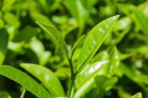 Чайные кусты на плантациях Тайланда