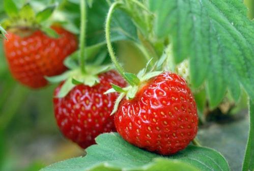 Сочные спелые ягоды клубники